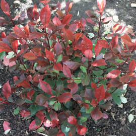 """Photinia fraseri 'Little Red Robin' - """"Laurier"""" nain à feuilles rouges"""