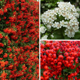 Pyracantha coccinea 'Ventoux Red' - Buisson ardent - Pyracanthe à baies rouges
