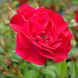 Rosa 'The Fairy Red' - Rosier paysager rouge - Rosier polyantha double