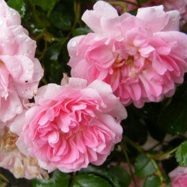 Rosa Pablito - Rosier nain paysager couvre-sol rose