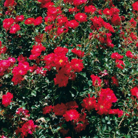 Rosa 'Red Bells' - Rosier nain paysager couvre-sol rouge