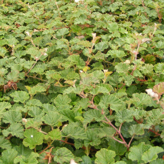 Rubus 'Betty Ashburner' - Ronce ornementale persistante - Ronce couvre-sol blanche