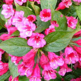Weigelia 'Red Prince' - Weigéla courtanin rouge vif