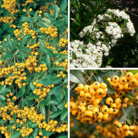 Pyracantha 'Soleil d'or' - Buisson ardent jaune - Pyracanthe
