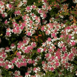 Aster lateriflorus 'Lady in Black' - Aster buissonnant pourpre