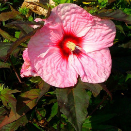Hibiscus Carrousel® 'Pink Candy' - Hibiscus géant rose