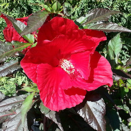 Hibiscus Carrousel® 'Red Wine' - Hibiscus géant rouge
