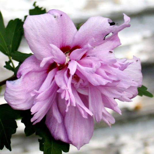 Hibiscus syriacus 'Summer Night'® - Althea double pourpre