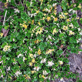 Lonicera crassifolia - Chèvrefeuille nain couvre-sol
