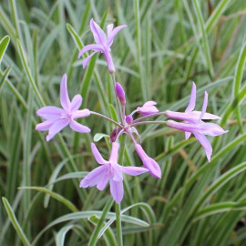 Tulbaghia violacea 'Silver Lace' - Tulbaghie panachée