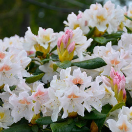 Rhododendron 'Cunningham's White' * - Rhododendron blanc compact