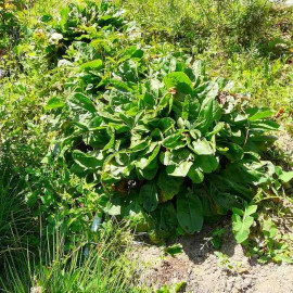 Rumex acetosa - Plant d'Oseille comestible