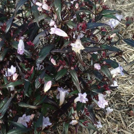 Strobilanthes anisophyllus 'Brunetthy'® - Goldfussia pourpre