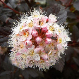 Physocarpus opulifolius 'Lady in Red'® - Physocarpe rouge compact
