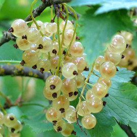 Ribes rubrum 'Witte Hollander' - Groseillier à grappes blanches