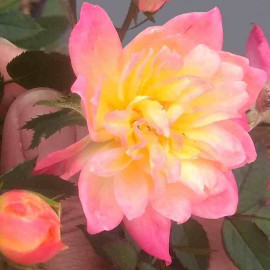 Rosa fairy 'Tricolor' - Rosier paysager tricolore
