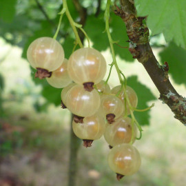 Ribes rubrum 'Cerise blanche' - Groseillier grappe 'White Pearl'