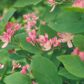 Lonicera tatarica 'Arnold Red' - Chèvrefeuille de Tartarie à baies rouges