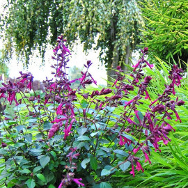 Salvia 'Love and Wishes'® - Sauge hybride pourpre